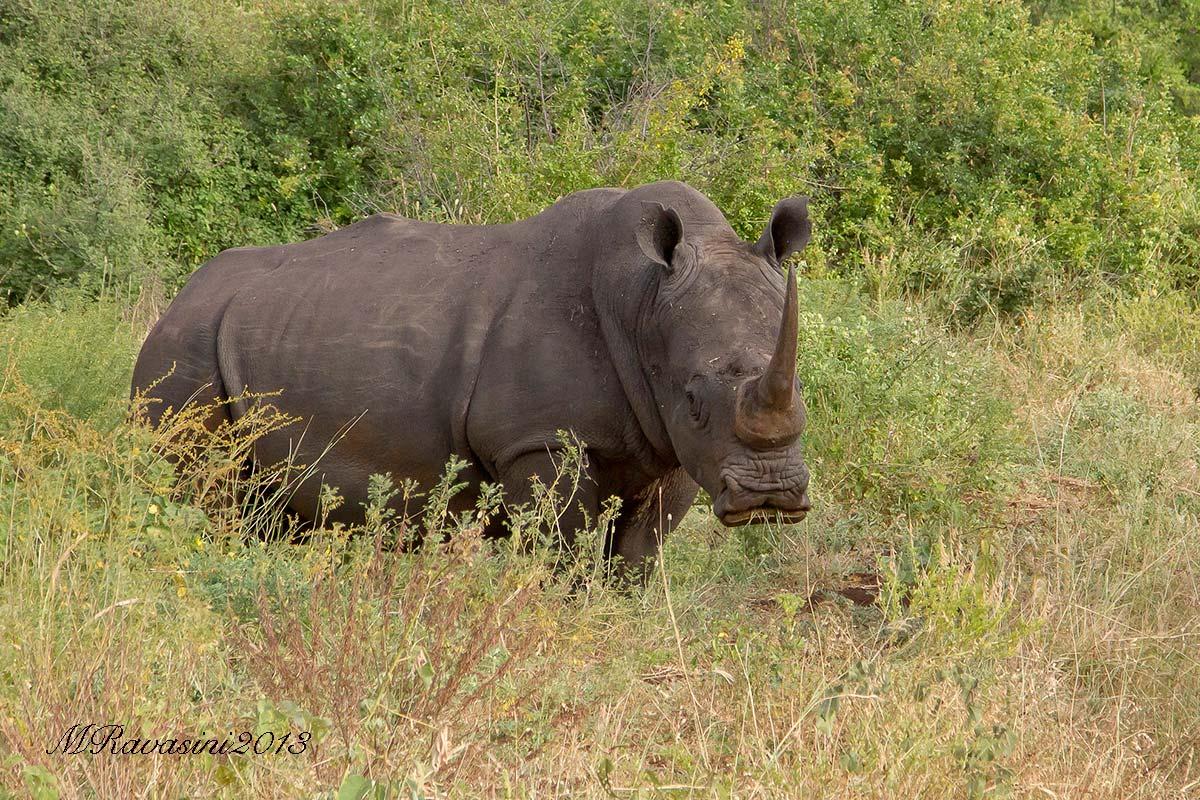 Uno dei tanti rinoceronti bianchi che ho avuto la fortuna di fotografare nel Meru National Park. Questo è un maschio di circa 25 anni. Unicorno!!