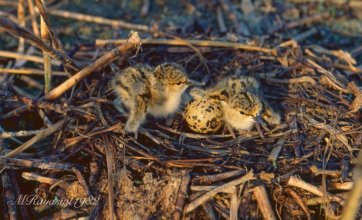 Pulli in schiusa in un nido presente nelle vasche di decantazione dello stabilimento Eridania.