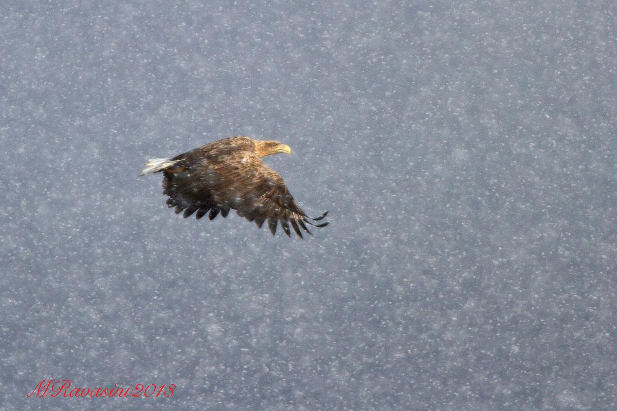 aquila-di-mare-e-neve-IMG_8584