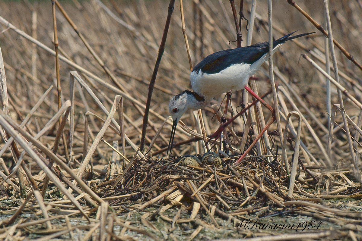 Maschio adulto sul nido. Vasche Eridania, giugno 1984