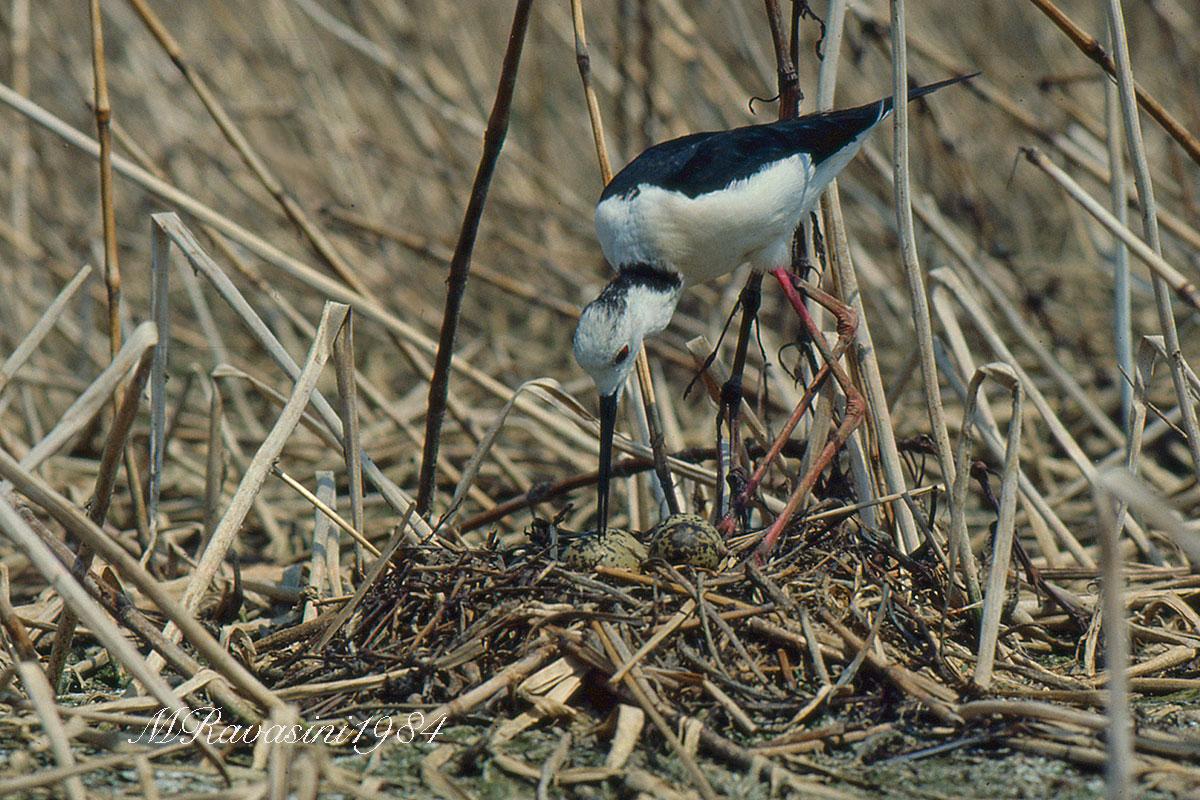Un nido a vulcano della stagione riproduttiva 1984 nelle vasche Eridania.