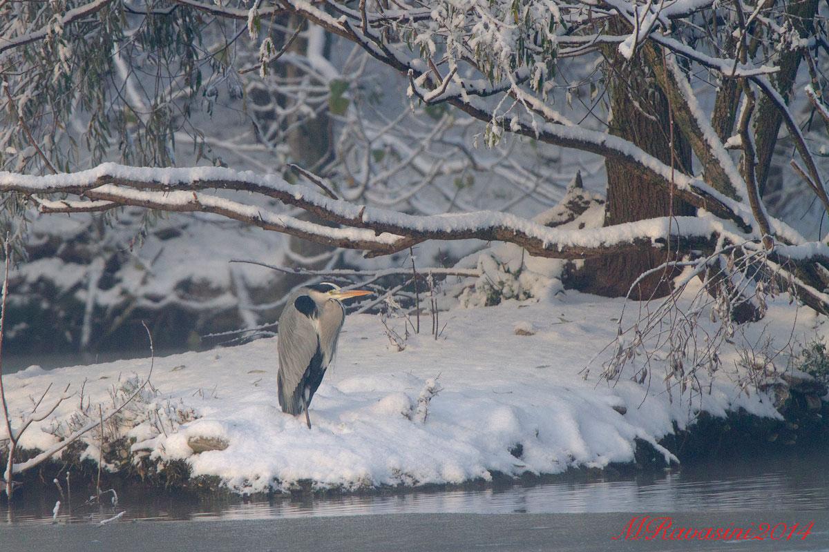 Airone cenerino adulto a riposo dopo la nevicata