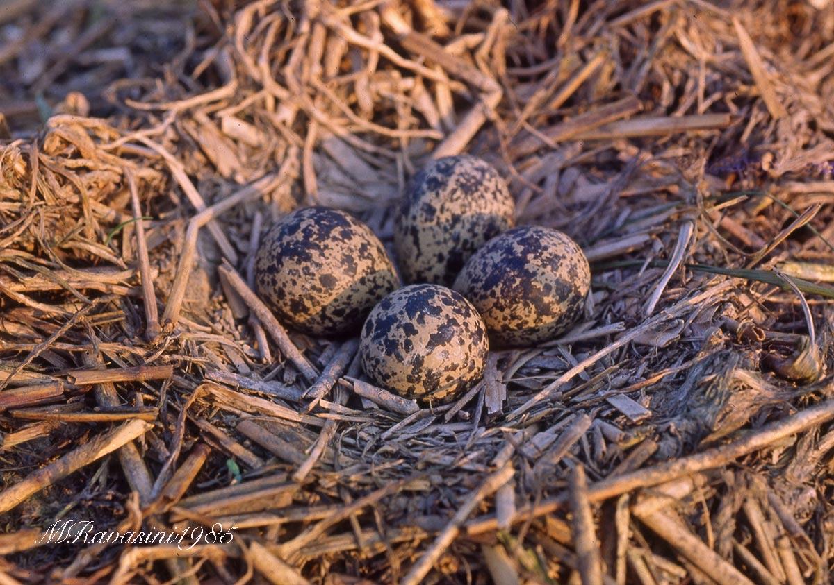 nido-di-pavoncella-apr-85