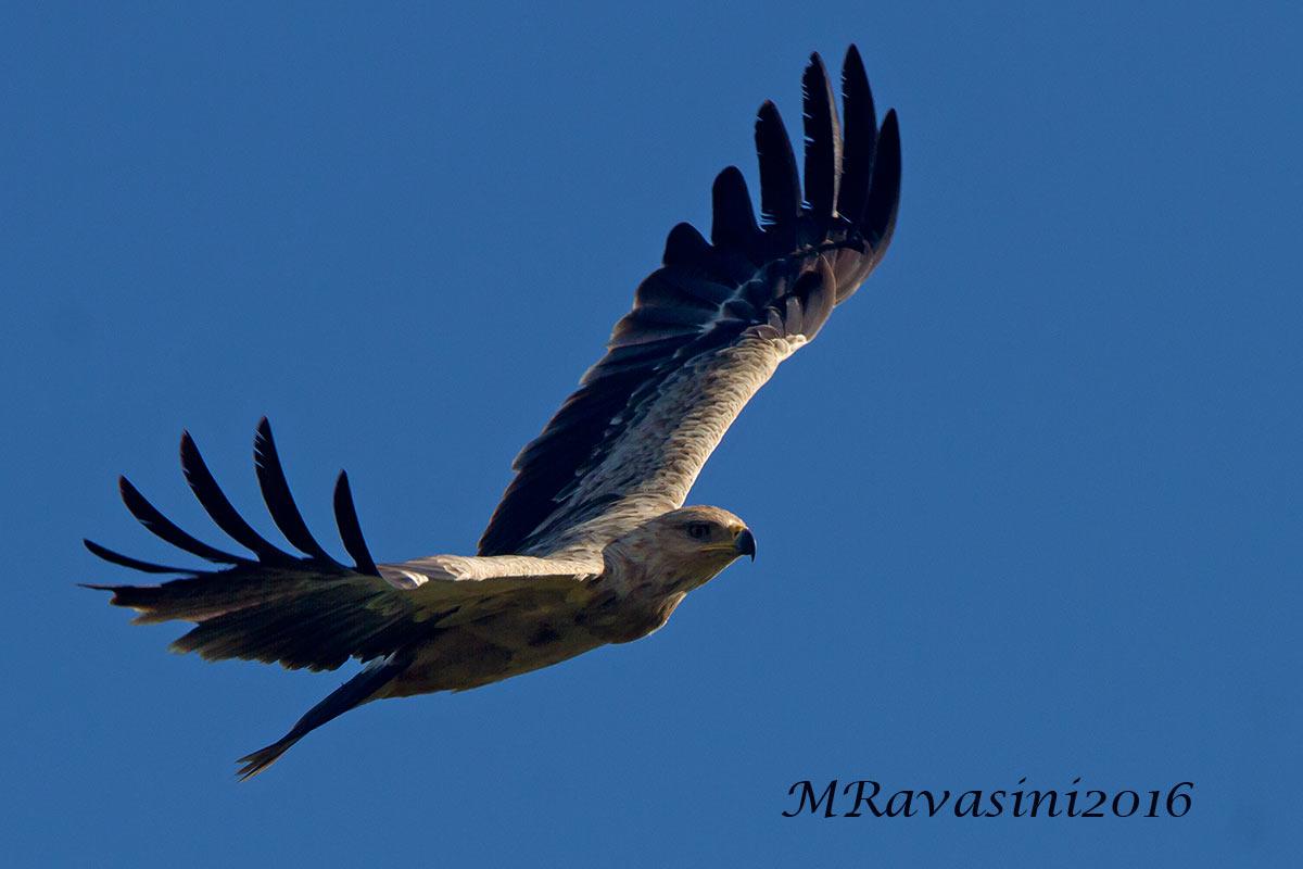Aquila rapace, immaturo in volo