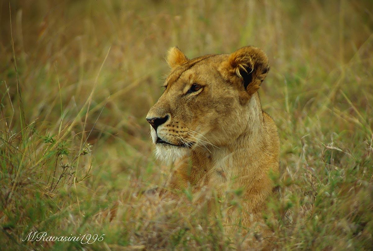 leonessa-masai-mara-africa-1995