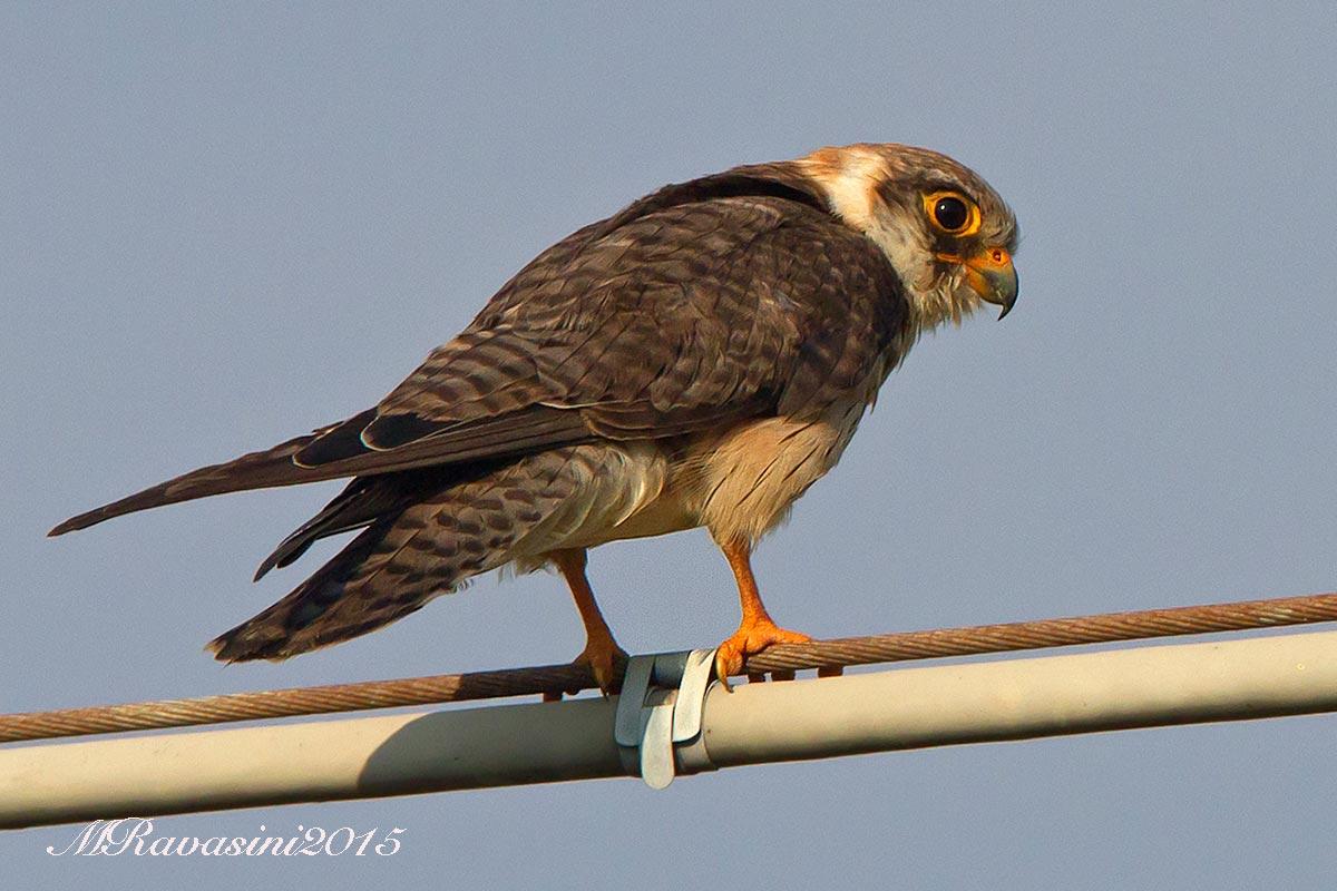 falco-cuculo-IMG_0132