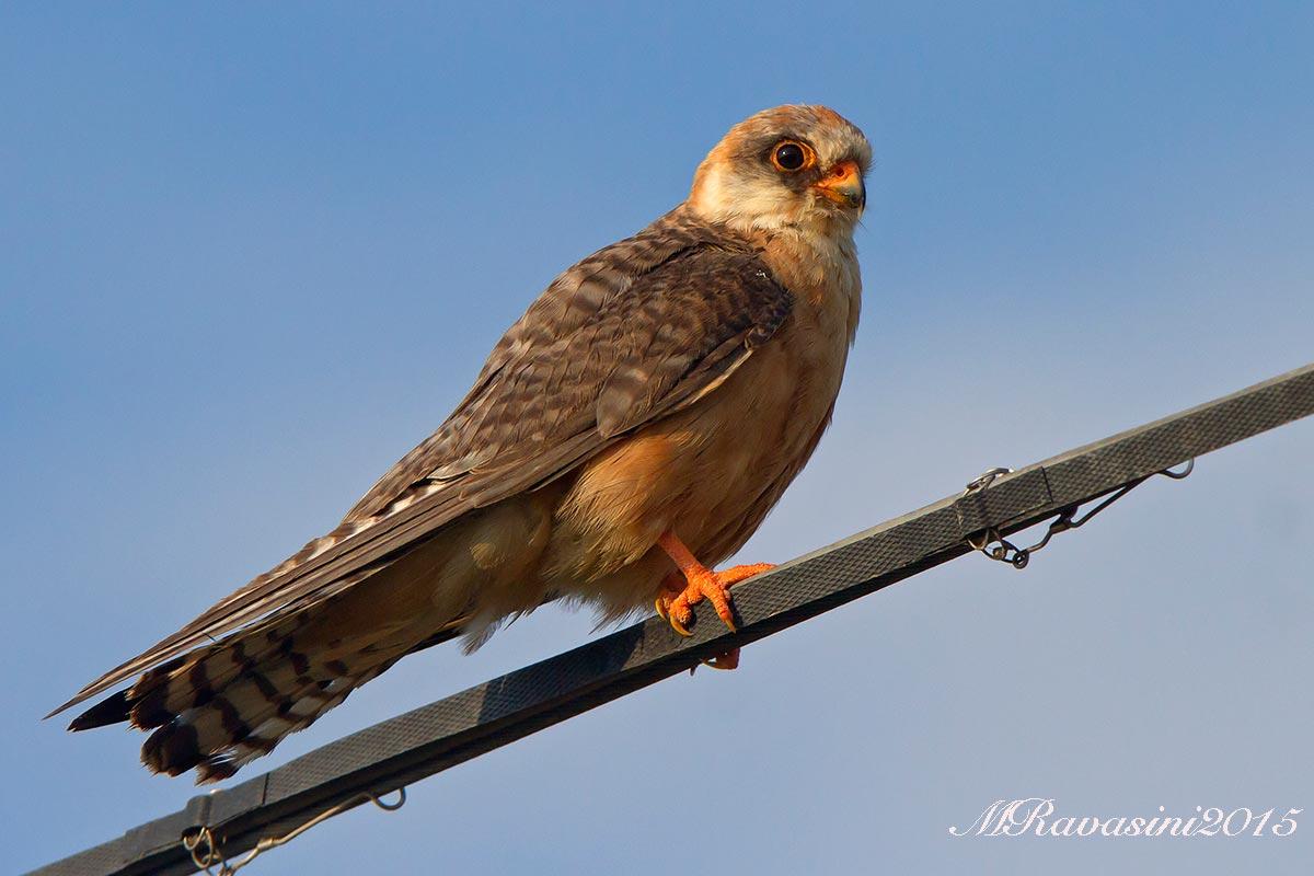 falco-cuculo-IMG_0154