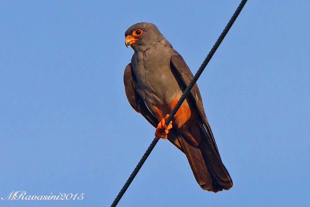 falco-cuculo-IMG_9888