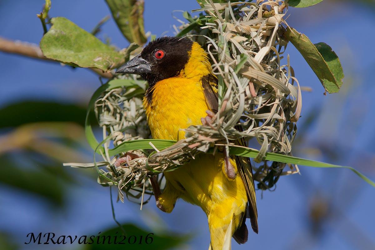 Un maschio di Tessitore testanera mentre costruisce un nuovo nido