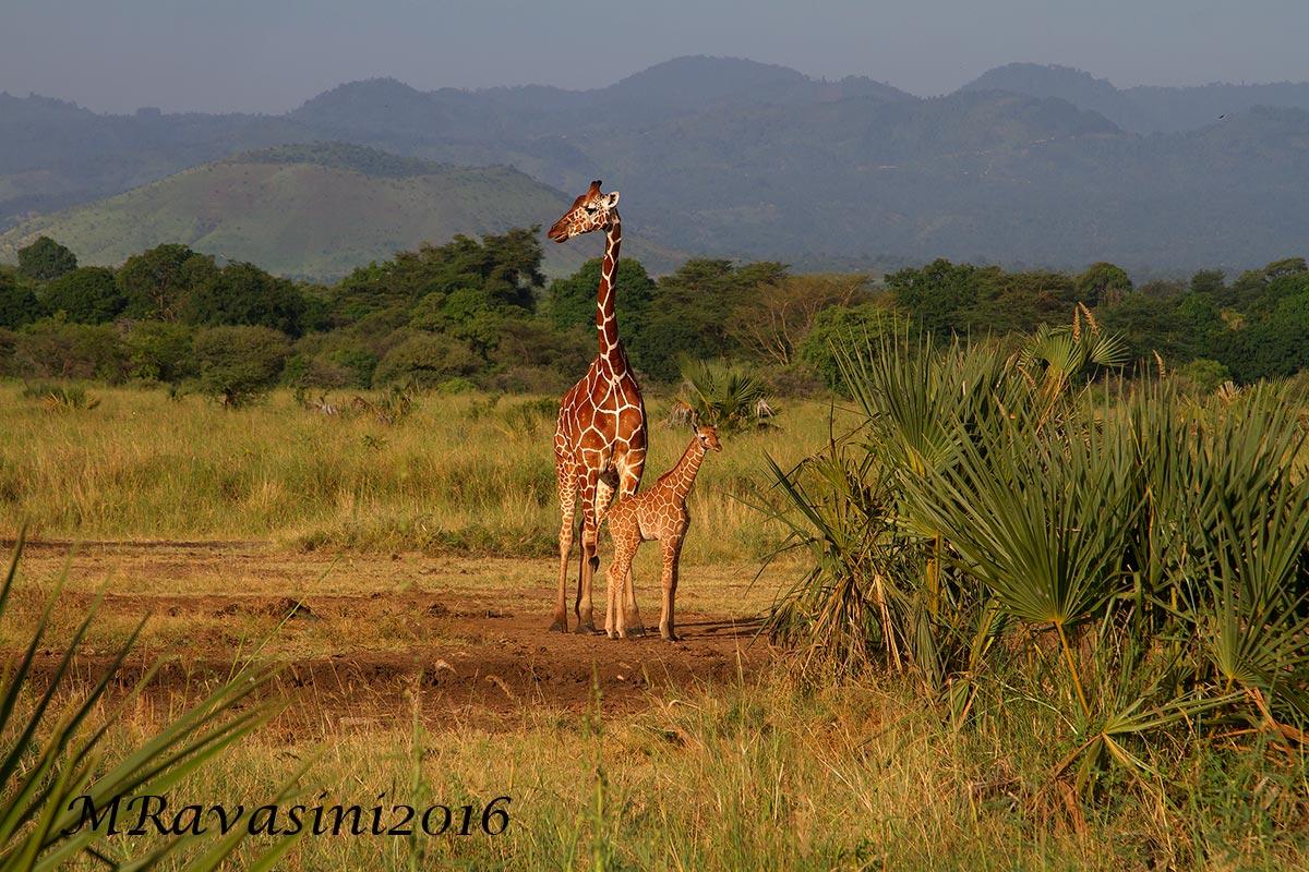 Giraffe , madre e piccolo