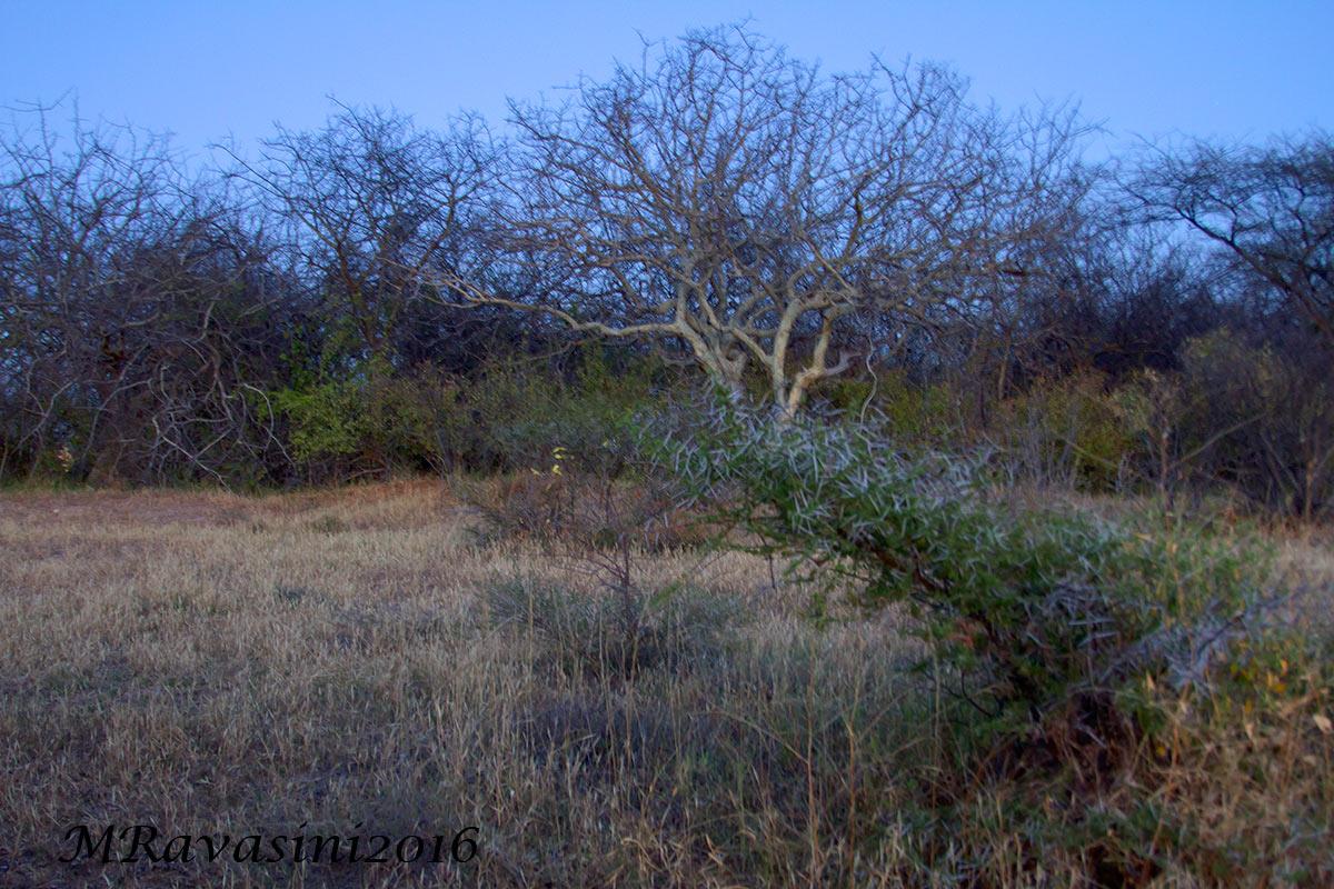 La radura al chiaro della luna con le improbabili forme delle piante di Comniphora