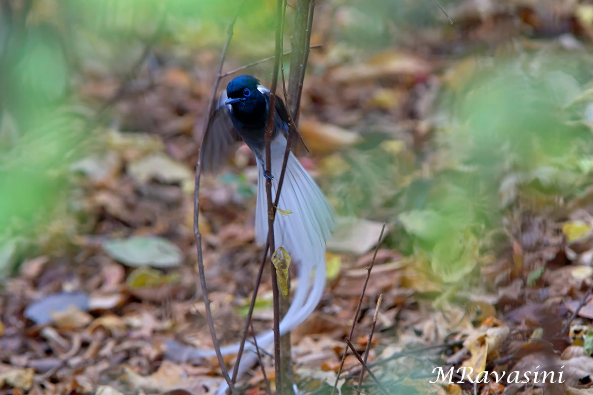 Maschio di African paradise flycatcher