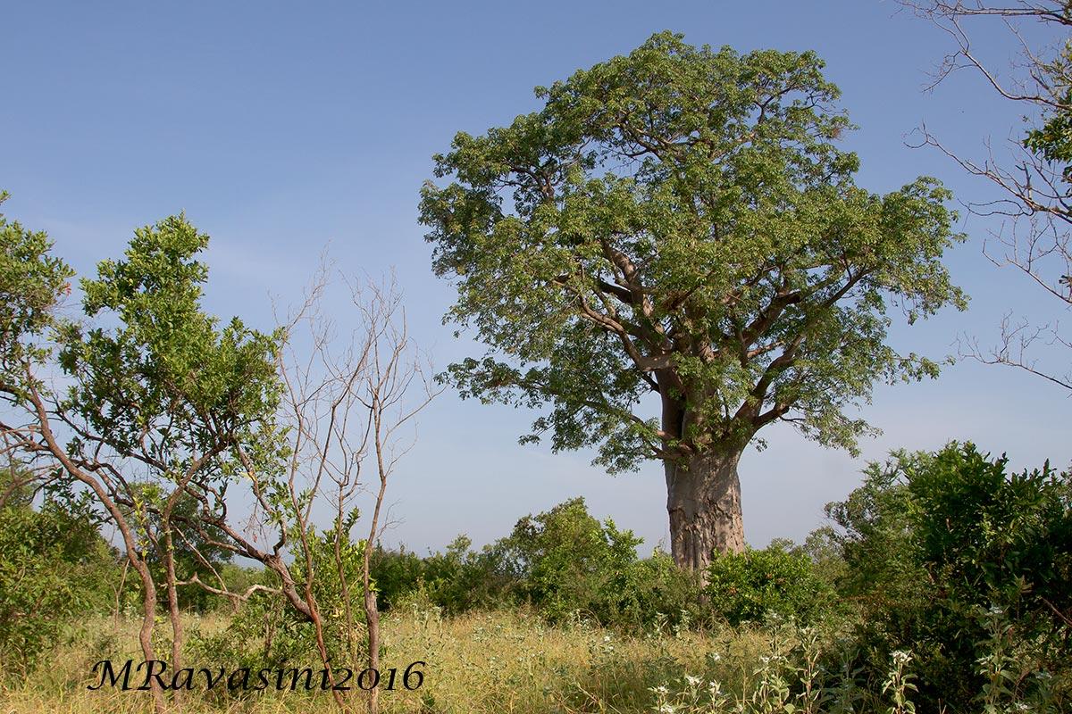 Il Baobab Majestic con le foglie.