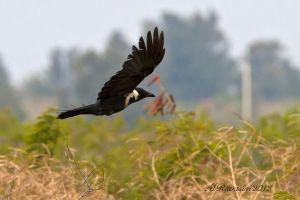 Collared-crow-IMG_4668.jpg
