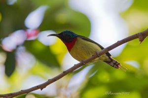 forktailed-sunbird-IMG_4076.jpg