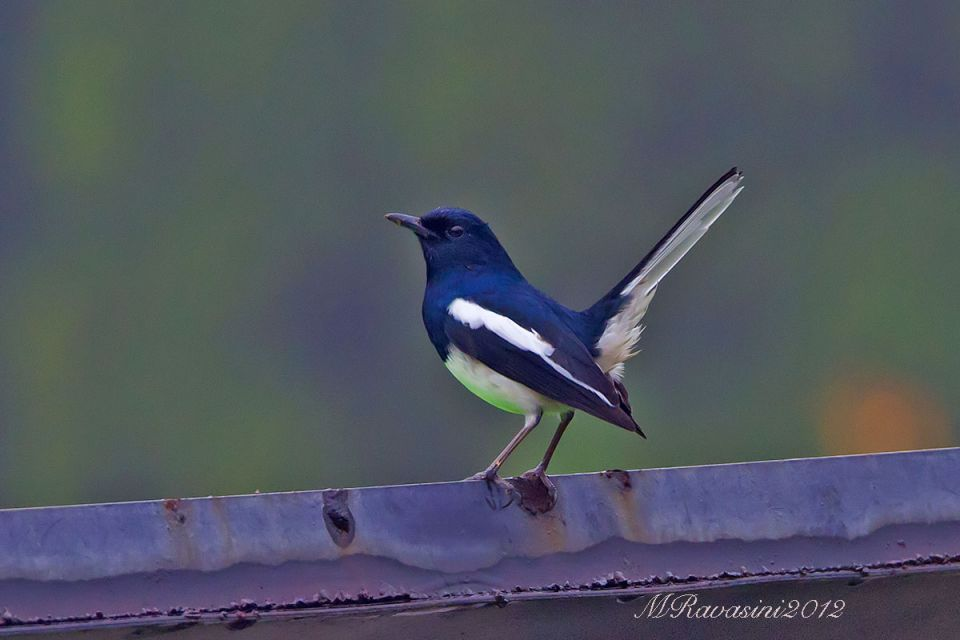 asiatic-magpie-robin-IMG_7446.jpg