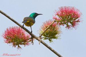collared-sunbird-e-fiore-di-Cobritam-mazambichensis-IMG_0295.jpg