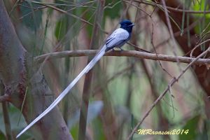 african-paradise-flycatcher.jpg