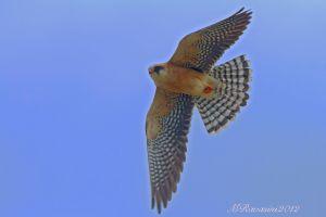 falco-cuculo-IMG_6442.jpg