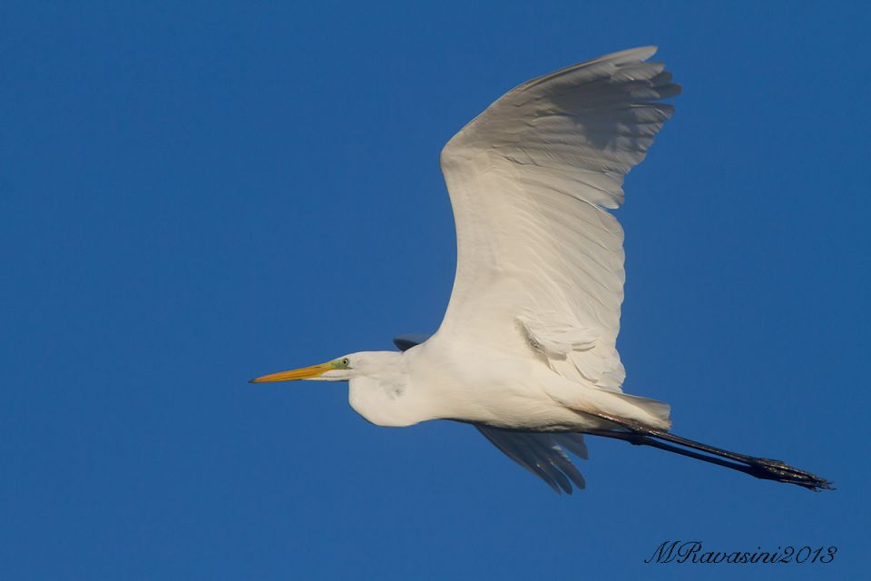 airone-bianco-in-volo-IMG_7317.jpg