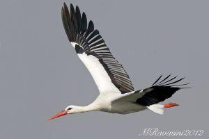 cicogna-bianca-IMG_5944.jpg