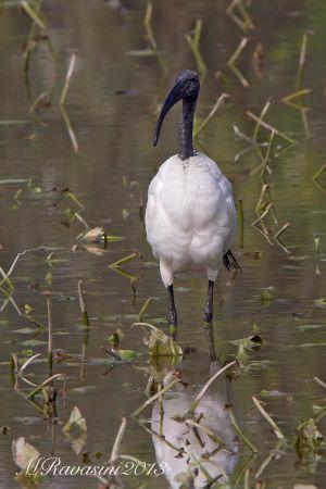 ibis-sacro-IMG_5532.jpg