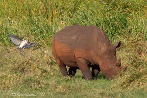 ibis-sacro-e-white-rhino-IMG_1793.jpg