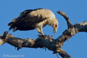 palmnut-vulture-IMG_4988.jpg