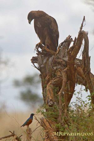 tawny-eagle-and-superb-starling-IMG_5796.jpg