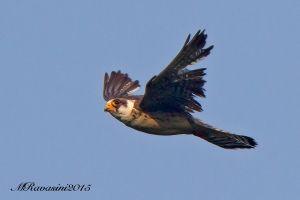 falco-cuculo-IMG_6004.jpg