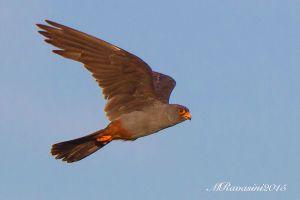 falco-cuculo-IMG_9906.jpg