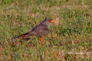 falco-cuculo-IMG_9917.jpg