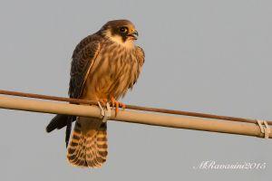 falco-cuculo-juv-IMG_9513.jpg