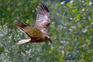 Falco-di-palude-.jpg