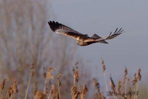 falco-di-palude-maschio-ad--IMG_6718.jpg