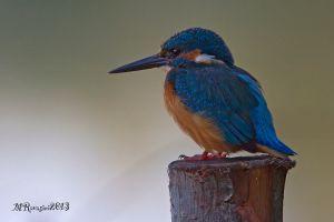 martin-pescatore-IMG_6707.jpg