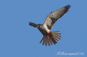 Falco-dell'amur-2-an-m-ravasini-.jpg