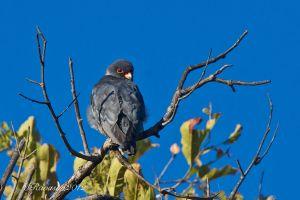 amur-falcon-male-.jpg