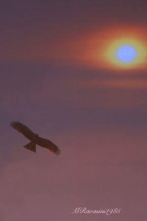 nibbio-bruno-al-tramonto.jpg