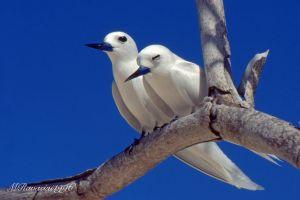 sterna-bianca-seychelles-.jpg