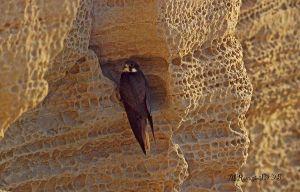 falco-della-regina-2.jpg