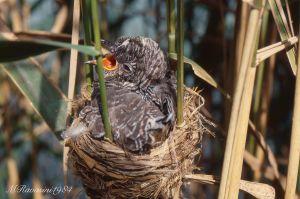 cuculo-juvnel-nido-di-cannareccione-Frassinara-lug84.jpg