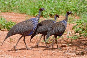 faraone-vulturine-IMG_5201-2.jpg