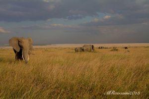 elefanti-Maasai-Mara-.jpg