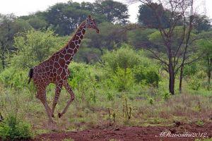 giraffa-in-corsa-,-Meru-Np.jpg