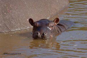 hippo-appena-nato.jpg