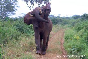 elefante-carica-IMG_4773.jpg