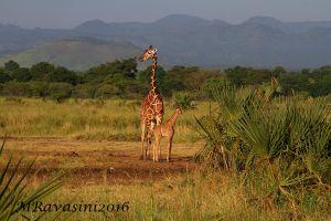 giraffe-IMG_5619.jpg