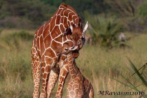 giraffe-lecca-IMG_5631.jpg