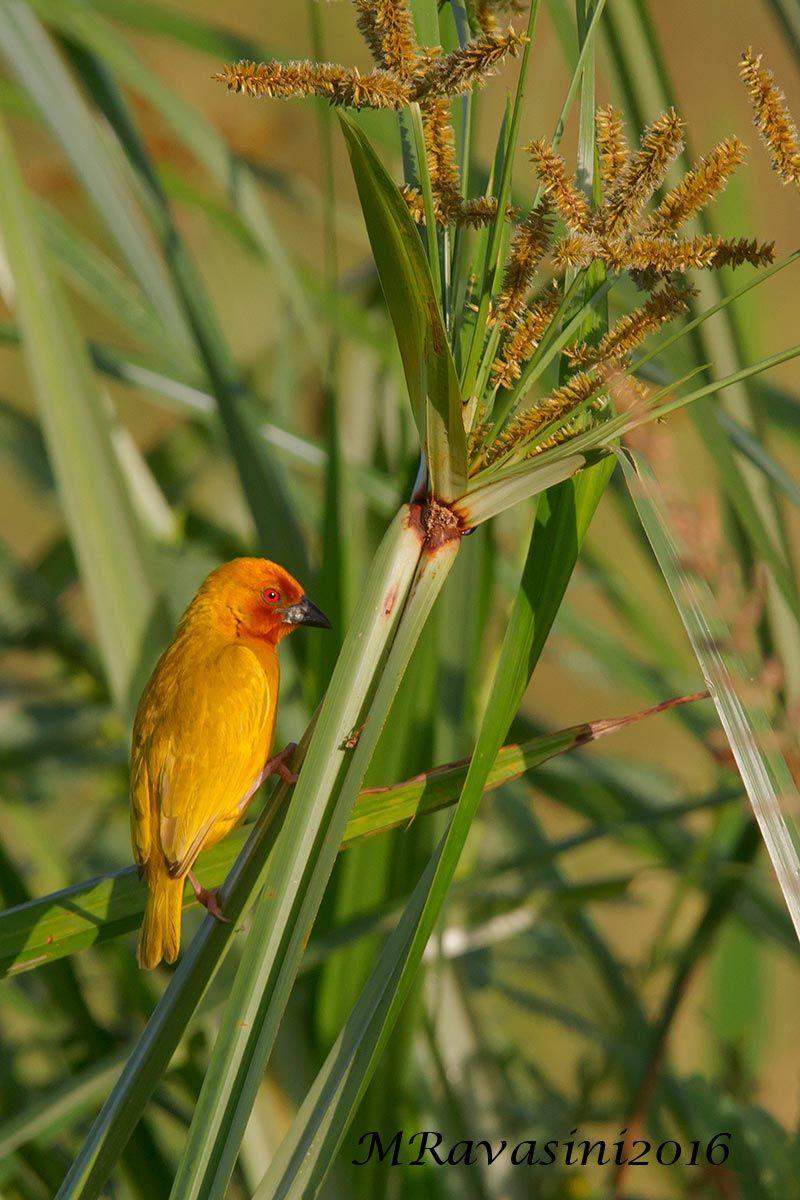 african-goldenweaver-IMG_5593.jpg